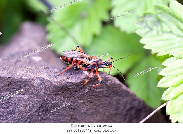 Proboscis worm Stock Photos and Images | age fotostock