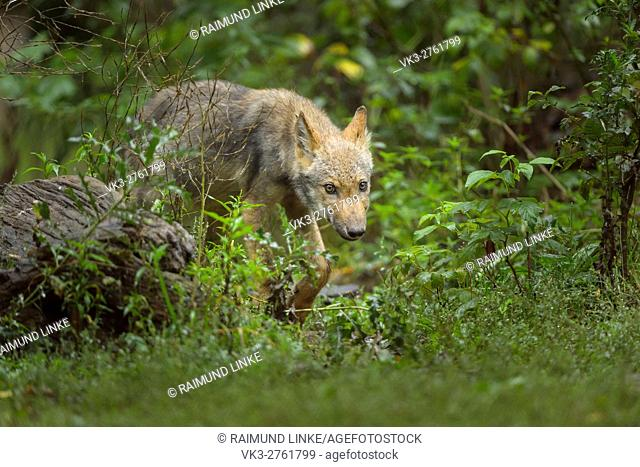 European Gray Wolf, Canis lupus lupus, Young Wolf, Germany