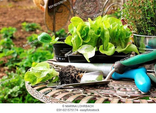 Salatsetzlinge, salad seedlings