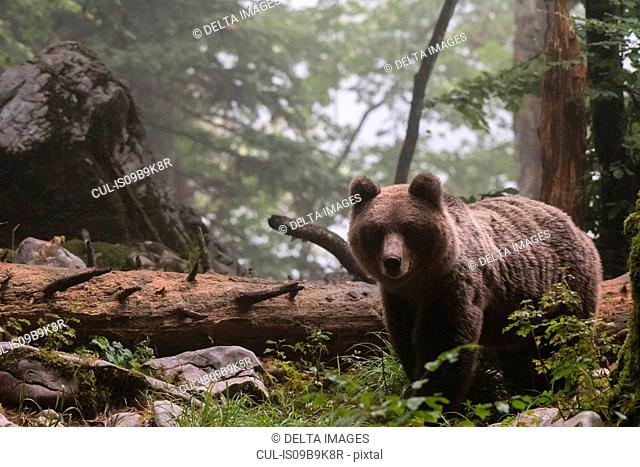European brown bear (Ursus arctos) in Notranjska forest, Slovenia
