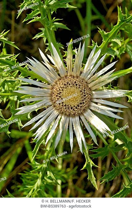 Dwarf thistle, Stemless Carline Thistle (Carlina acaulis), inflorescence, Germany