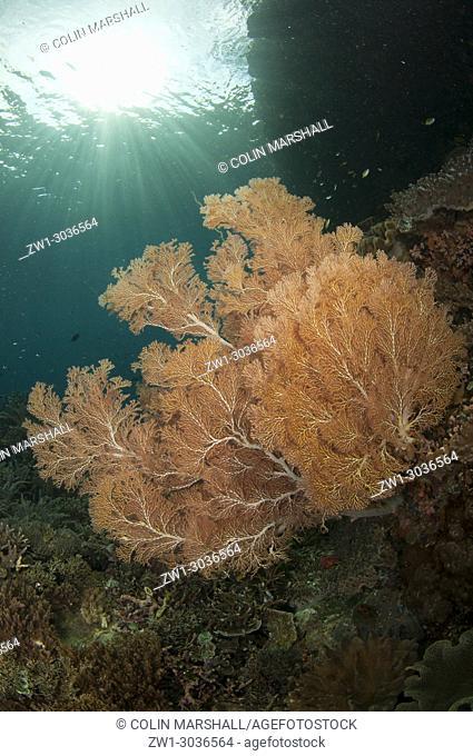 Sea Fan (Melithaea sp. ) with sun in background, Kerua Channel dive site, Penemu Island, Raja Ampat, West Papua, Indonesia