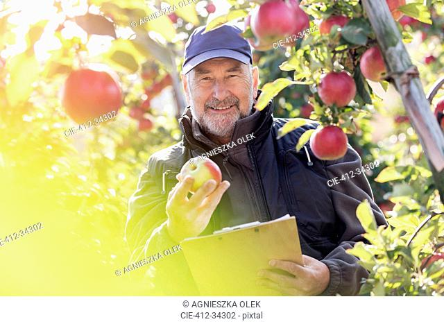 Portrait smiling male farmer with clipboard inspecting red apples in sunny orchard