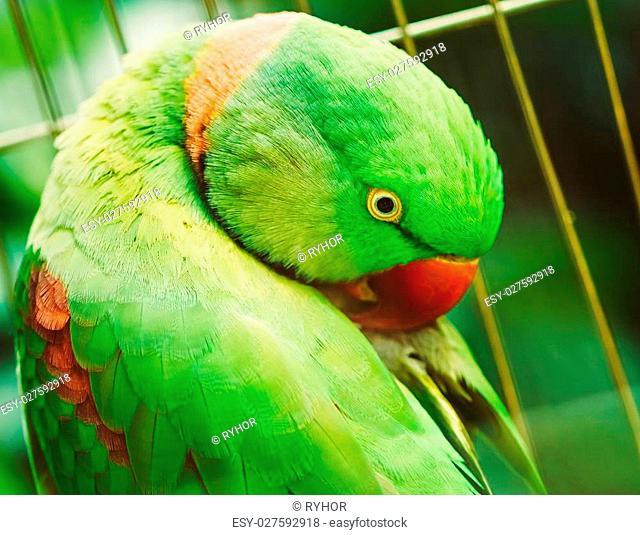 Close Up Of Alexandrine Parakeet Psittacula Eupatria. Bird Parrot
