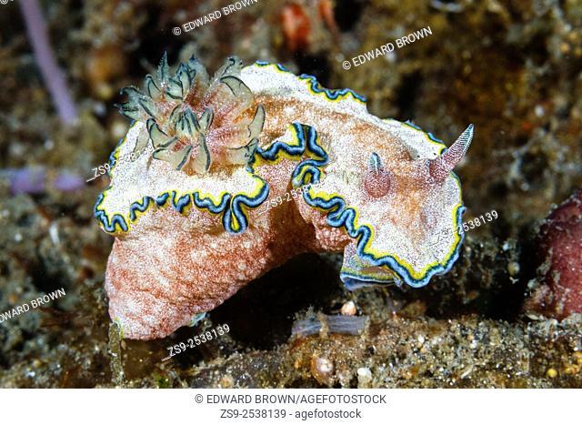Glossodoris cincta nudibranch, Lembeh Strait, Indonesia