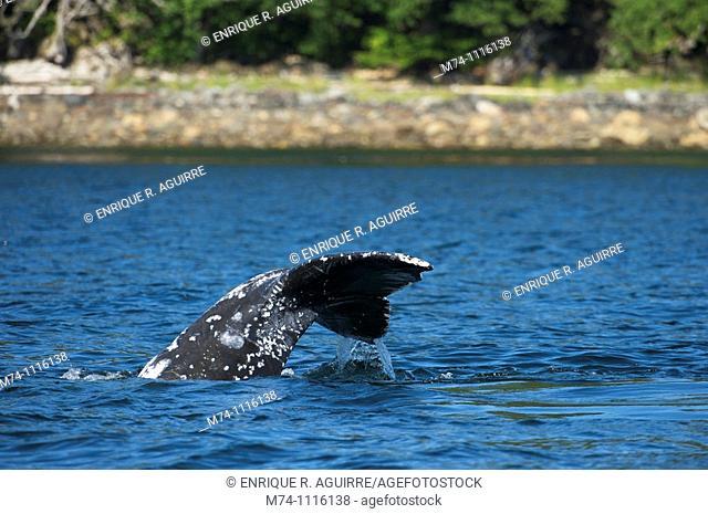 Humpaback Whale (Megaptera novaeangliae), Inside Passage, South West Alaska, USA