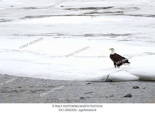 Bald Eagle ( Haliaeetus leucocephalus ) in winter, sitting on the icy and snow covered bank of Yellowstone river, Montana, USA.