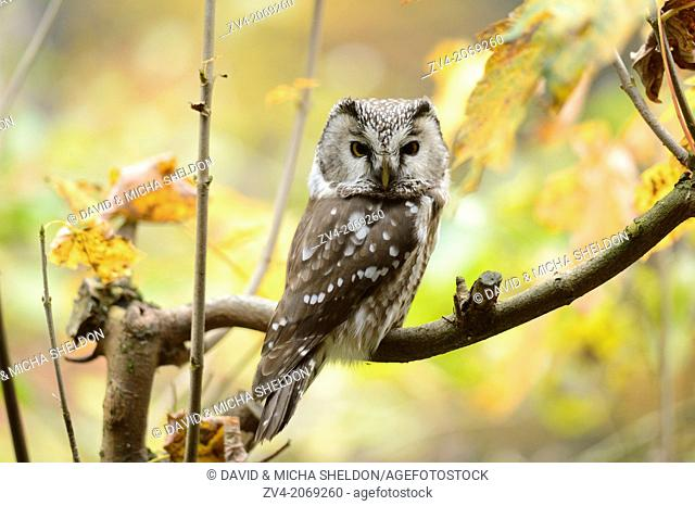 Close-up of a Boreal Owl (Aegolius funereus) in autumn in the bavarian forest