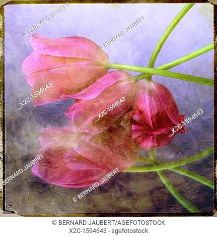 Pink tulips, textured