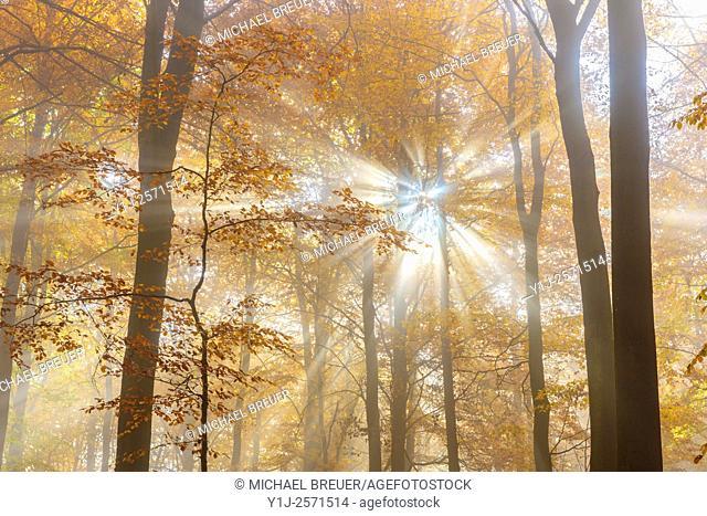 Sunbeams in beech forest in autumn, Spessart, Bavaria, Germany, Europe