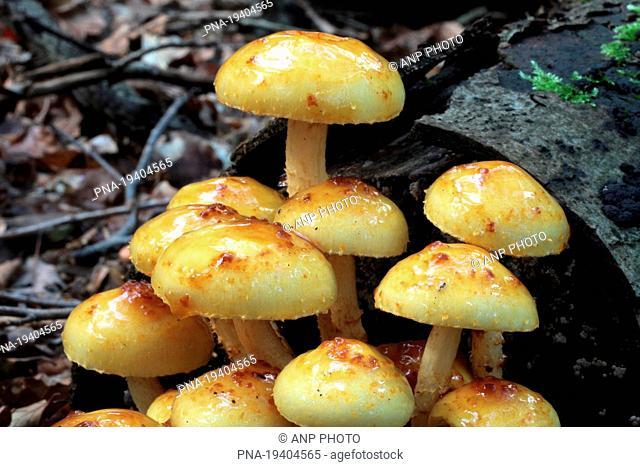 golden Scalycap Pholiota aurivella - Orderbos, Apeldoorn, Veluwe, Gelderland, Guelders, The Netherlands, Holland, Europe