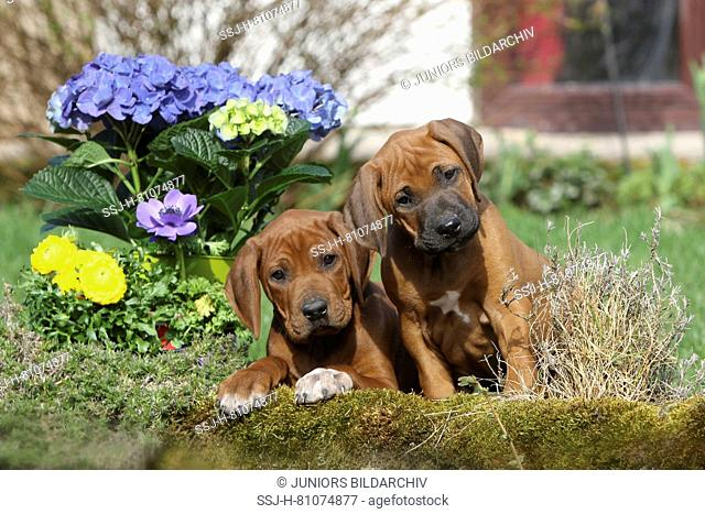 Rhodesian Ridgeback. Two puppies (males, 7 weeks old) next to spring flowers in a garden. Germany