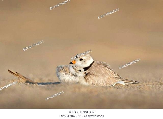 A touching moment as a tiny Piping Plover chick snuggles into its parent on a sandy beach in the early morning sunlight