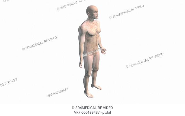 As the camera pans down, a model of the male body rotates and dissolves to reveal the skeletal and lymphatic systems. The camera then zooms in on the torso