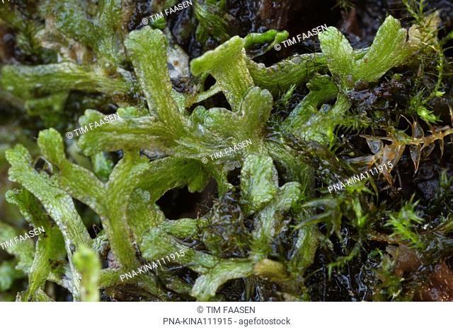 Floating Crystalwort Riccia fluitans - Eckartse bos, Eckartdal, Eindhoven, Campine, North Brabant, The Netherlands, Holland, Europe