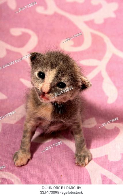 Domestic Cat. Kitten (15 days old) sitting on a purple blanket