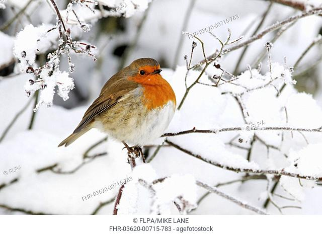 European Robin Erithacus rubecula adult, perched on snow covered twig, West Midlands, England, december