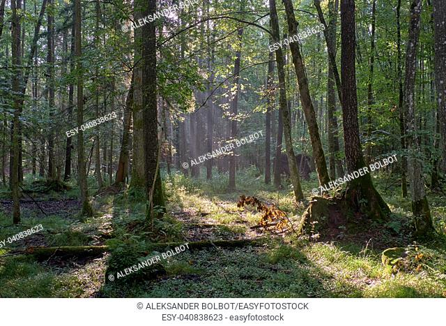 Misty sunrise morning in deciduous forest with old alder trees,Bialowieza Forest, Poland, Europe
