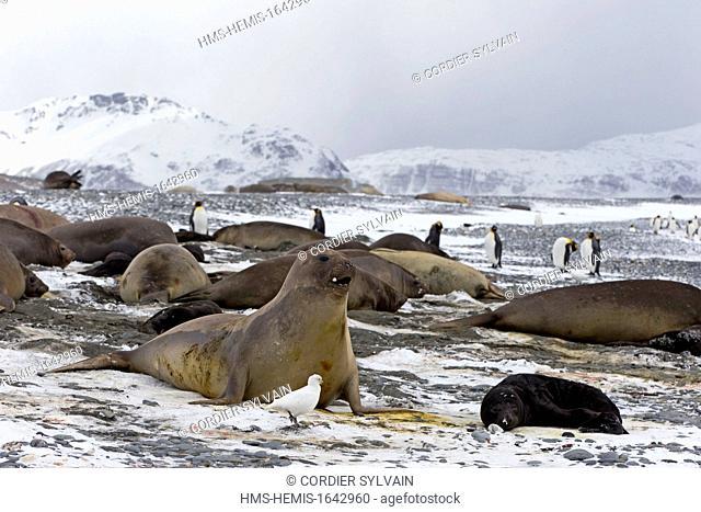 Antarctic, South Georgia Island, Salysbury plains, Southern Elephnat Seal (Mirounga leonina), mother and new born baby