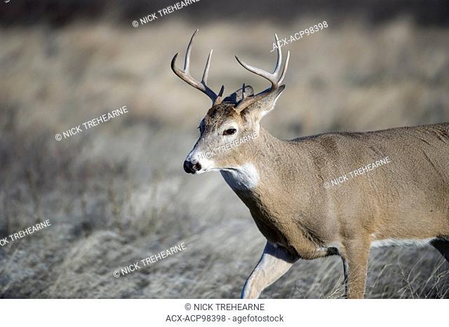 whitetail, deer, Odocoileus virginianus, buck, male, rocky mountains, Montana, United States
