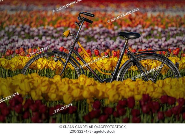 Spring Tulips and Bike - Old Super Style bicycle surrounded by thousands of beautiful tulips in the farm during the golden hour.