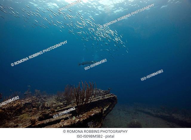 Underwater view of barracuda swimming near Rhone shipwreck, British Virgin Islands