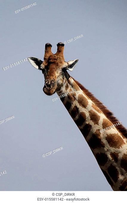 Portrait of a Giraffe in Namibia