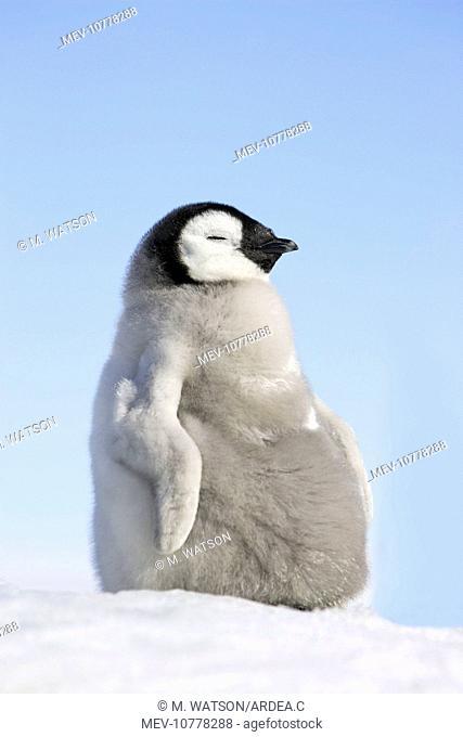 Emperor Penguin - Young (Aptenodytes forsteri)