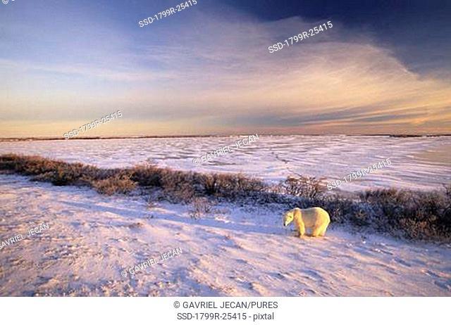 Polar bear Ursus maritimus walking in snow, Churchill, Manitoba, Canada