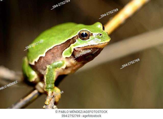 Iberian tree frog 'Hyla molleri' in Valdemanco, Madrid, España