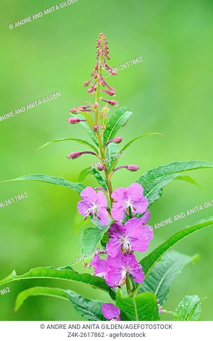 Fireweed (Chamerion angustifolium) close-up, Katmai national park, Alaska, USA
