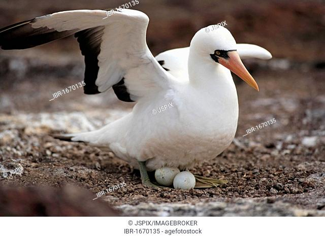 Nazca Booby (Sula granti), adult on a nest, brooding, with eggs, Galapagos Islands, Pacific Ocean