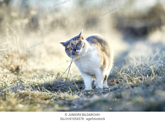 British Shorthair. Adult cat on a frosty morning in a garden, sniffing at stalk. Germany