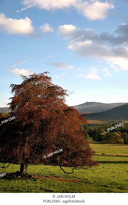 Copper beech on Finzean estate, Clachnaben and Grampians