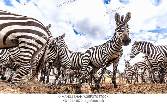 A secretly hidden remote camera captures a herd of Zebras at the river crossing point. Masai Mara National Reserve, Kenya