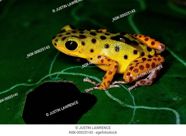 Isla Colon morph Strawberry Poison Frog (Oophaga pumilio) transporting a tadpole on a leaf, Panama