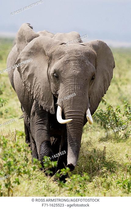 Herd of African Bush Elephant or African Savanna Elephant Loxodonta africana  Amboseli National Park  Kenya  Africa
