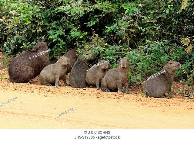 Capybara, (Hydrochoerus hydrochaeris), adult with youngs on shore, Pantanal, Mato Grosso, Brazil, South America