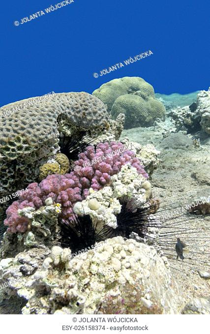 colorful coral reef with sea urchin in tropical sea, underwater