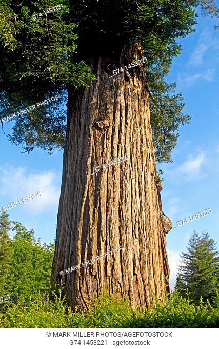 Coastal Redwood Tree, California, USA, Sequoia sempervirens