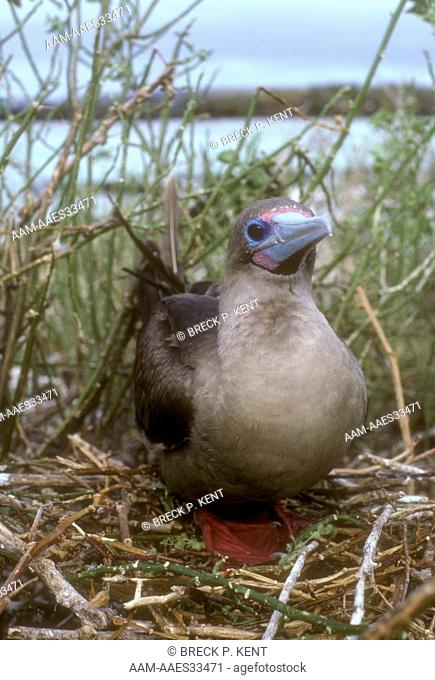 Red-Footed Booby (Sula sula) Galapagos