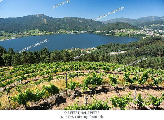 Vines at the Vina Costeiras vineyard high above the Minõ basin