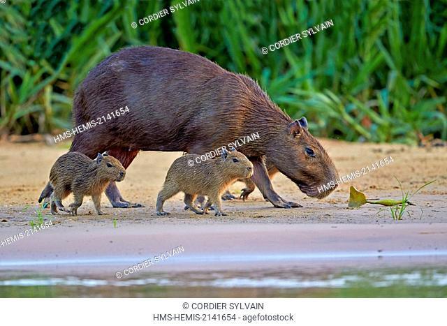 Brazil, Mato Grosso, Pantanal region, the capybara (Hydrochaeris hydrochaeris) is the largest rodent in the world