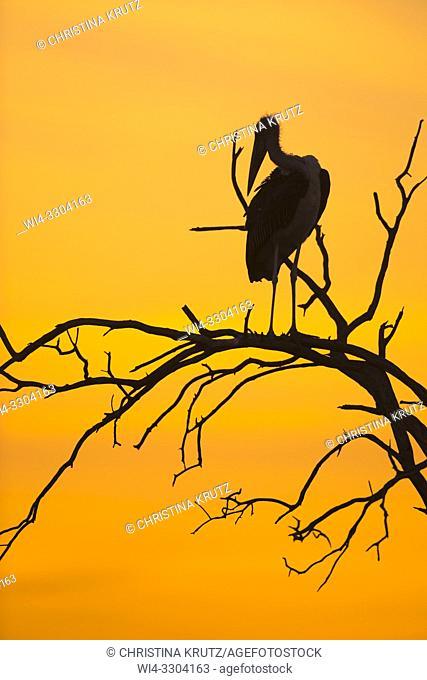 Silhouette of a Marabou stork (Leptoptilos crumeniferus) on a dead tree at sunset, Maasai Mara National Reserve, Kenya, Africa