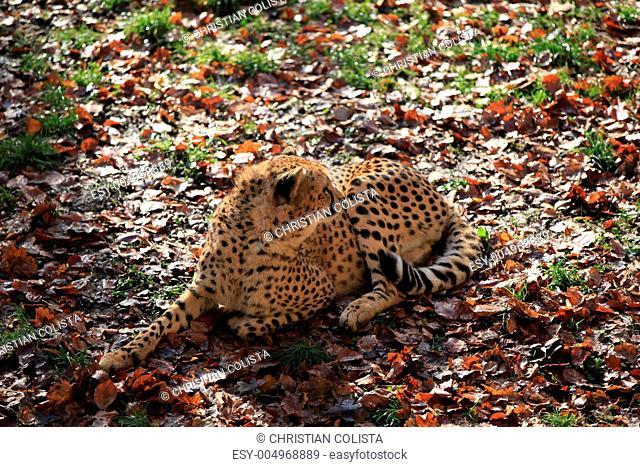 Gepard in Nahaufnahme