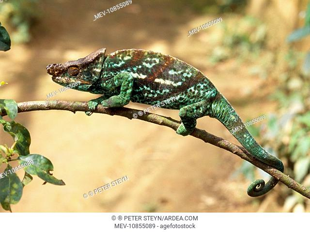 Parson's Chameleon - male (Calumma parsonii). Madagascar