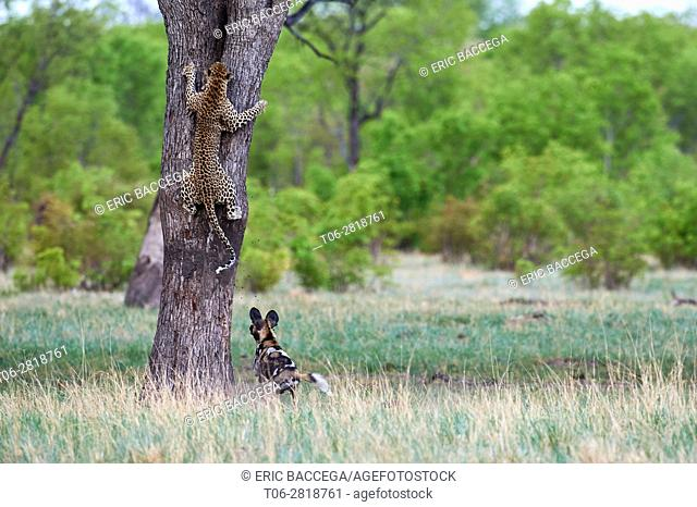 African wild dogs (Lycaon pictus) pursuing a leopard (Panthera pardus) which climbs on a tree to take refuge. Hwange National Park, Zimbabwe Sequence 2