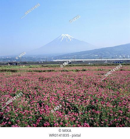 Mt.Fuji And Chinese Milk Vetch, Shizuoka, Japan