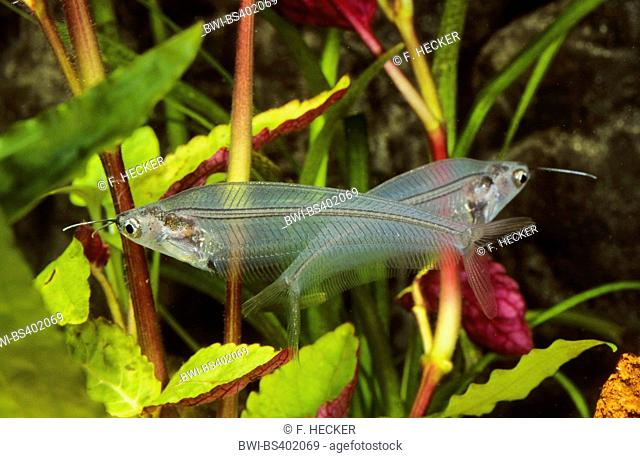 glass catfish, ghost catfish, ghost fish (Kryptopterus vitreolus, Kryptopterus bicirrhis, Kryptopterus minor, Cryptopterichthys bicirrhis)