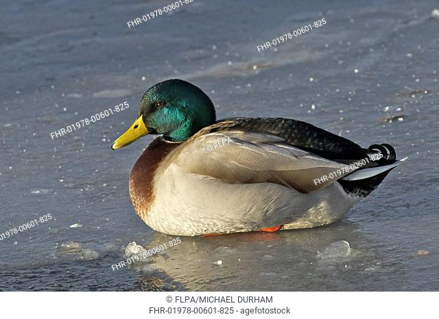 Mallard Duck Anas platyrhynchos adult male, sitting on ice of frozen river, River Nith, Dumfries and Galloway, Scotland, december